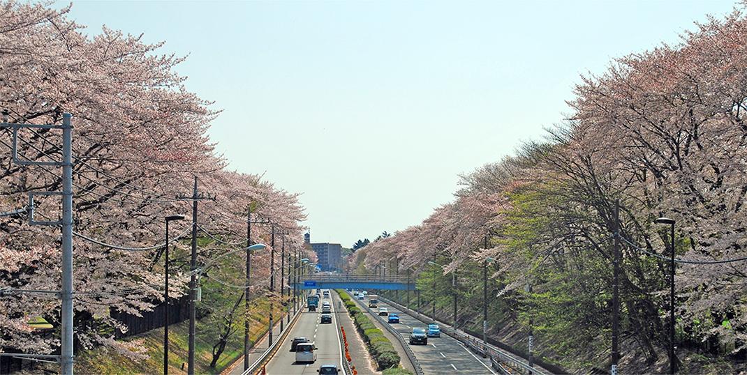 桜の並木道の写真画像1070px-538px