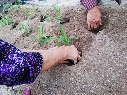 畑に苗を植える老女の手